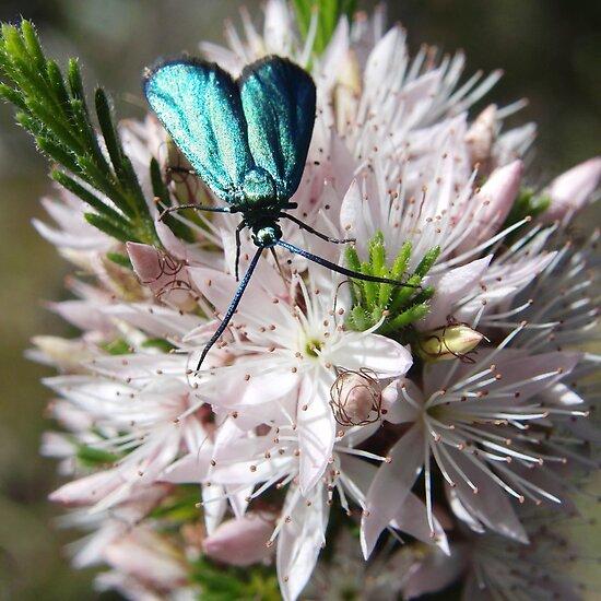Satin Green Forrester Moth (Pollanisus viridipulverulenta) - Belair National