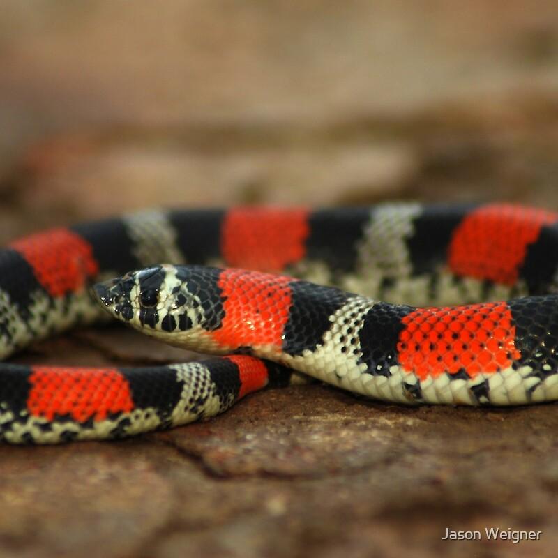 Ringed Hognose Snake, Hognose Snake