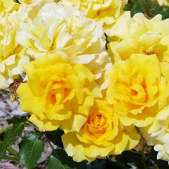 Free desktop background wallpapers most beautiful yellow for What color is the friendship rose