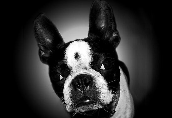 Boston Terrier by Marcia Rubin