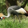 Honolulu Zoo The Grey Crowned Crane featured in Let Animals Stay Free Group