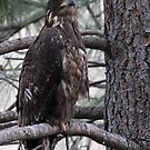 Juvenile Eagle by Kansas Allen