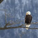 Eagle in British Columbia by Kansas Allen