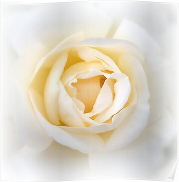 beautiful white rose flowers. White Rose
