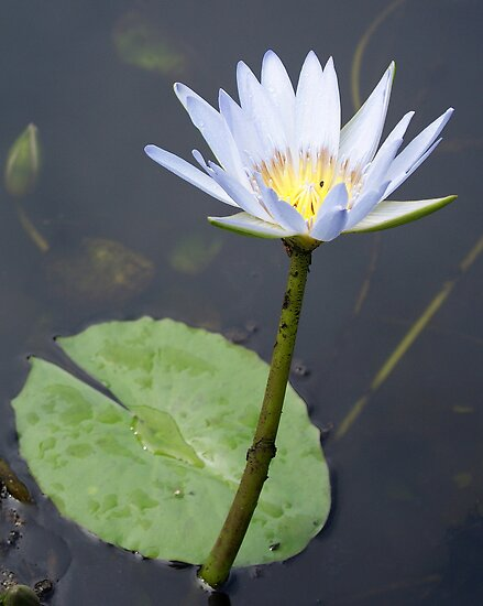 gold coast queensland. Water Lily - Gold Coast,