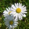 DaisyFlower123