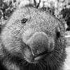 Scruffy Wombat