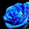 bluerose456