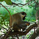 Vervet Monkey Eating by Cocktus