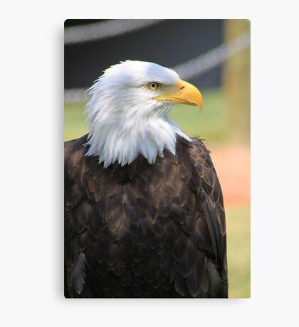 "Bald Eagle - ""Jefferson"" Canvas Print"