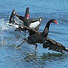 Black Swans by Robert Abraham