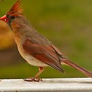 Female Cardinal by browncardinal8