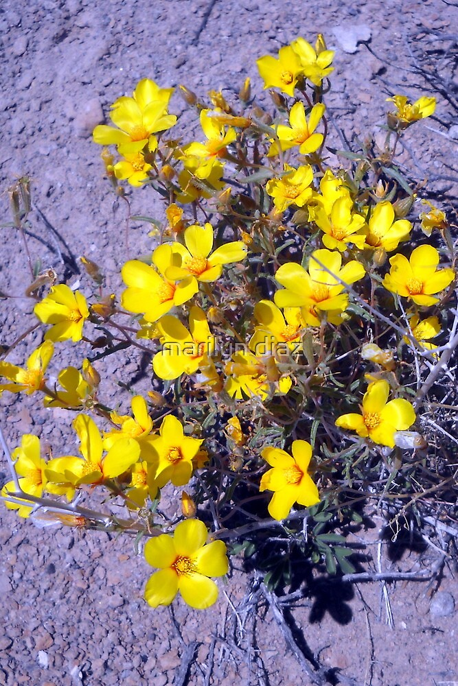 Desert Yellow by marilyn diaz