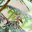 Baby-Kolibri, der heraus seine Zunge haftet von Peggy Collins