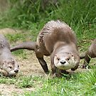 Otters together by Anthony Brewer
