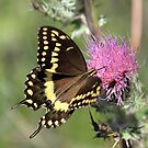 Butterfly and Thistle by RebeccaBlackman