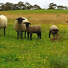 Suffolk sheep by keelinjay