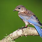 Eastern Bluebird fledgling by Rob Lavoie