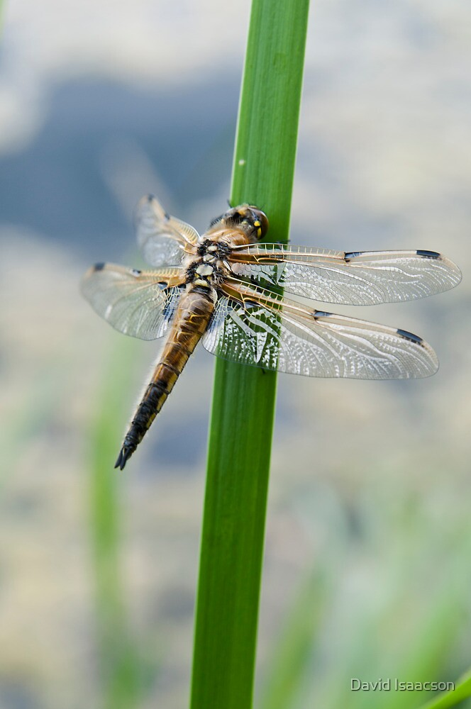 Dragonfly - Four-spotted Chaser by David Isaacson