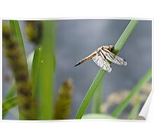 Dragonfly - Four-spotted Chaser Poster