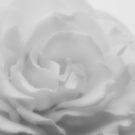 White Rose by Dave Hare