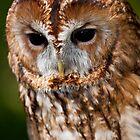 Tawny owl (Strix aluco) by Gabor Pozsgai