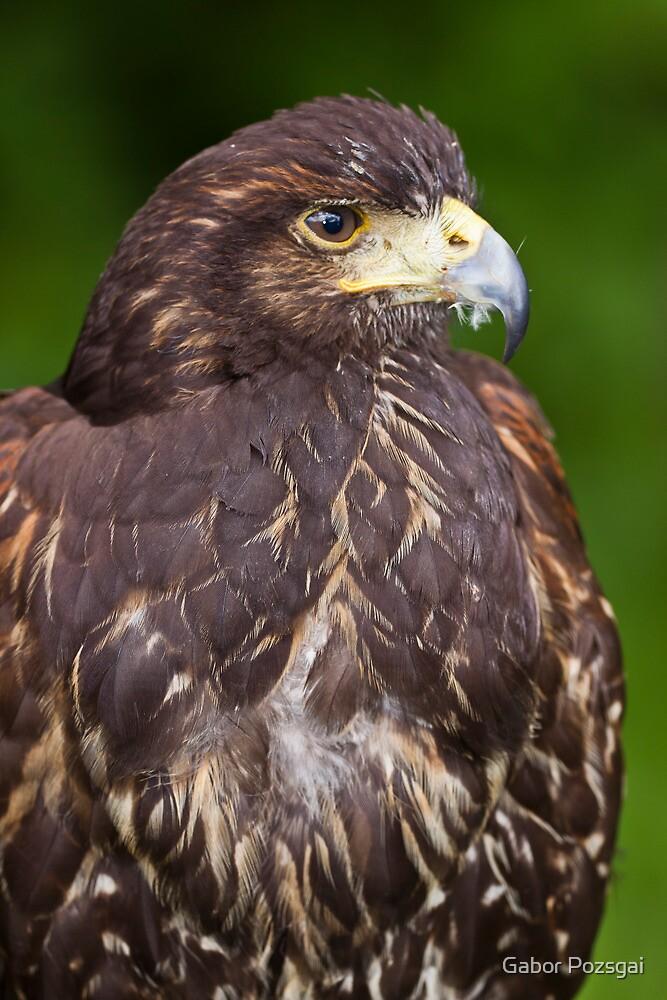 Harris's Hawk (Parabuteo unicinctus) by Gabor Pozsgai