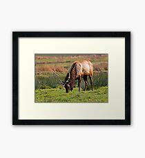 Bull Elk Grazing Framed Print