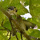 Feed me! Young Goldfinch and parent. by CarlBovis