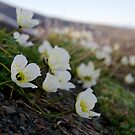 Svalbard Poppy by Algot Kristoffer Peterson