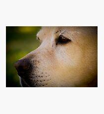 Labrador Muzzle Photographic Print