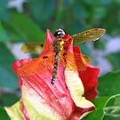 Colorful nature dragon fly. by queenxtc
