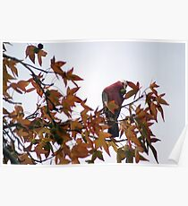 Galah in the tree. Poster