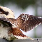Kookaburra, by Trish Threlfall