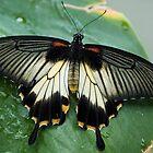 Swallowtail Butterfly by Jenny1611