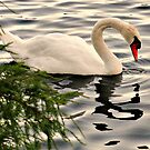 Graceful by Vince Scaglione