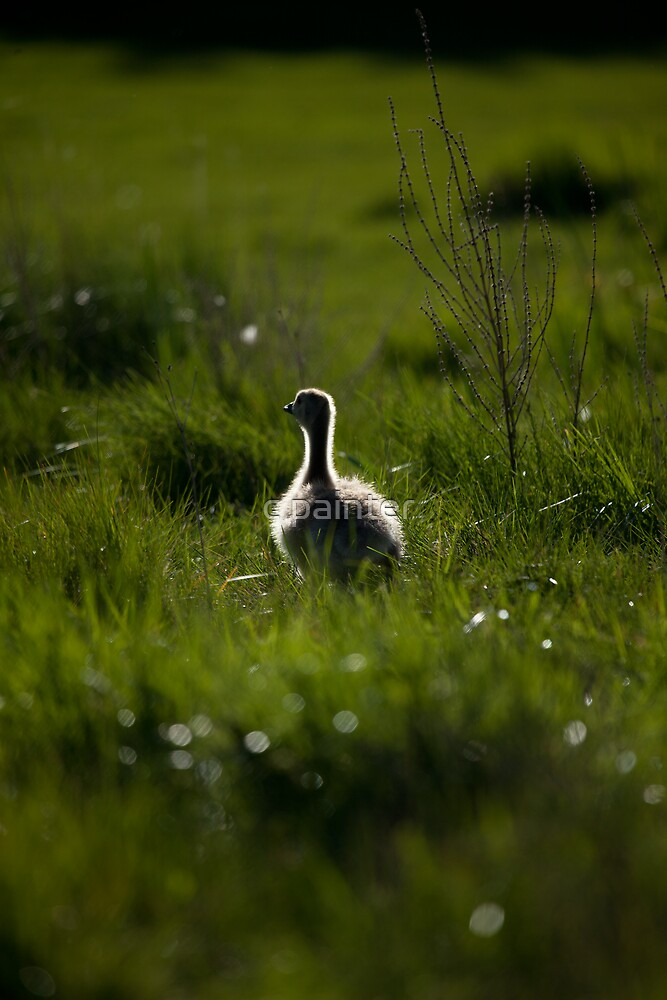 Canada Goose, gosling by c painter
