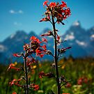 Wild Flowers and Teton Mountains by KellyHeaton