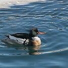 Merganser Encircled in Icy Water at Harbourfront by Gerda Grice