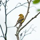 Female American Goldfinch (Spinus tristis) by Mike Oxley