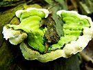 Fine Young Fungi :-) by Marcia Rubin