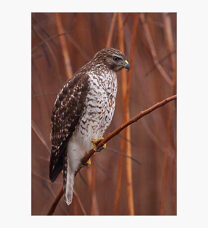 Broad-winged Hawk Photographic Print
