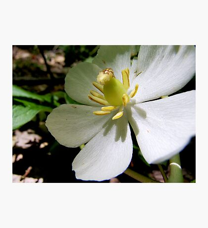Mayapple Flower Photographic Print