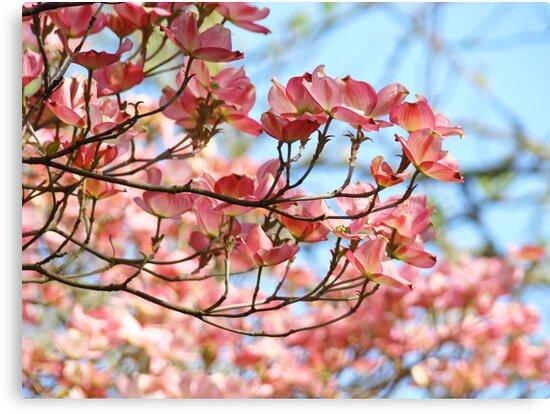 Dogwood Tree Flowering Pink Dogwood Flowers Baslee Canvas Prints By