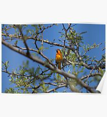 """Northern """"Bullock's"""" Oriole (Western Male) Poster"""