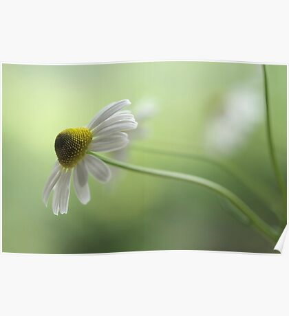 Chamomile Poster