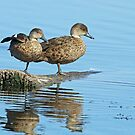 Grey Teal by Robert Abraham