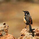 Drakensburg Rockjumper by naturalnomad
