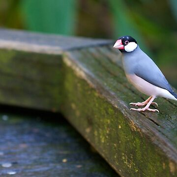 Java Sparrow by funkysmel