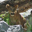 I am the lion king honest. by newcastlepablo